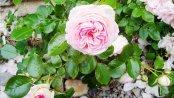 Rose am Natursteinhaus